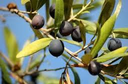 Des archéologues ont découvert dans le nord d'Israël une très ancienne plantation d'oliviers